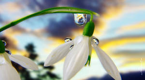 Galanthus flower