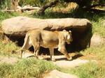 Lioness V