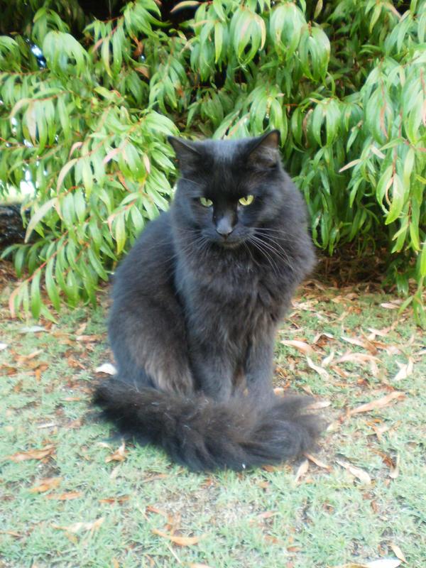 Fluffy Black Angora Cat Www Imagessure Com