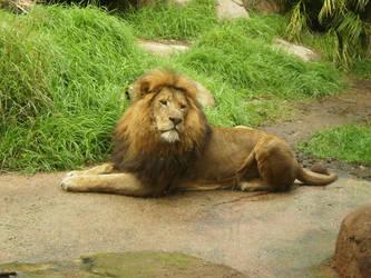 Lion V by Twister4evaSTOCK