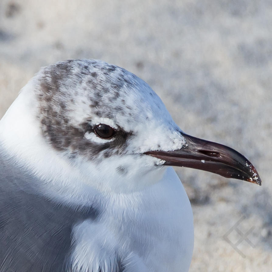 Seagull portrait by Jose Figueroa by Veyrong