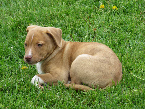 Pitbull Puppy Stock 9876