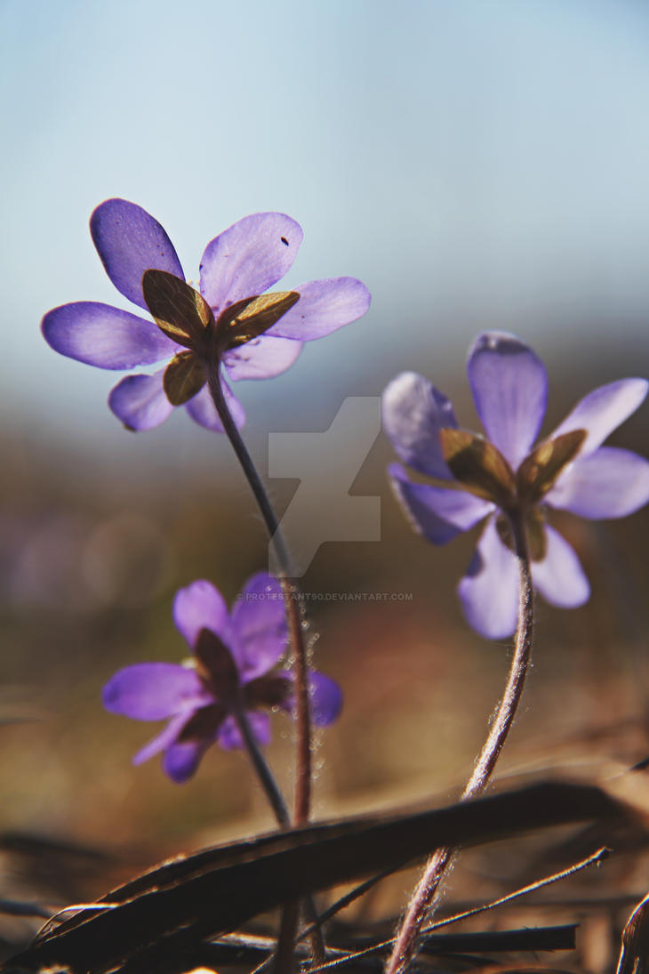 Anemone hepatica by protestant90
