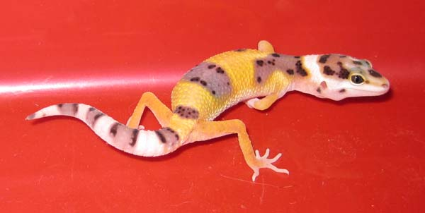 Baby Leopard Gecko by wastedsacrifice