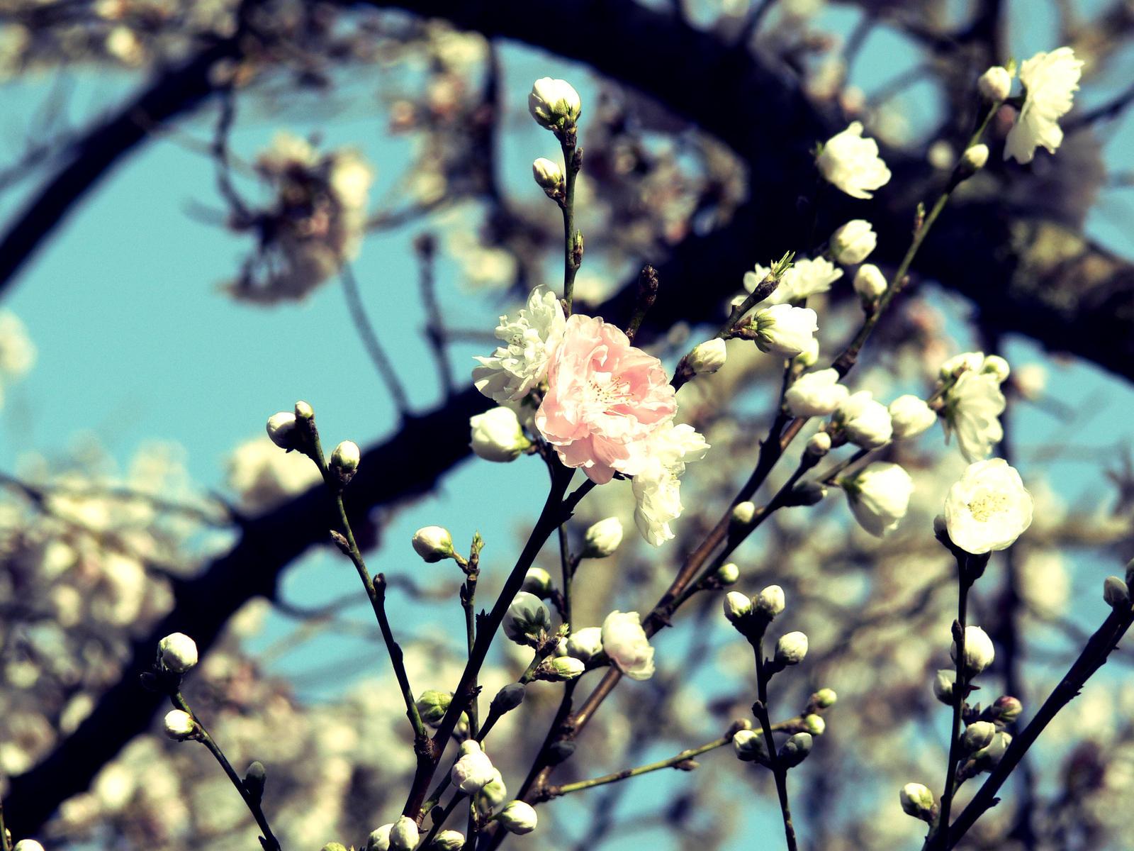 Sakura vintage cuatro amigos