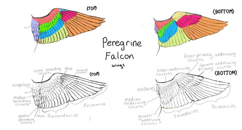 Wing Drawings By Birdnerd23 On Deviantart