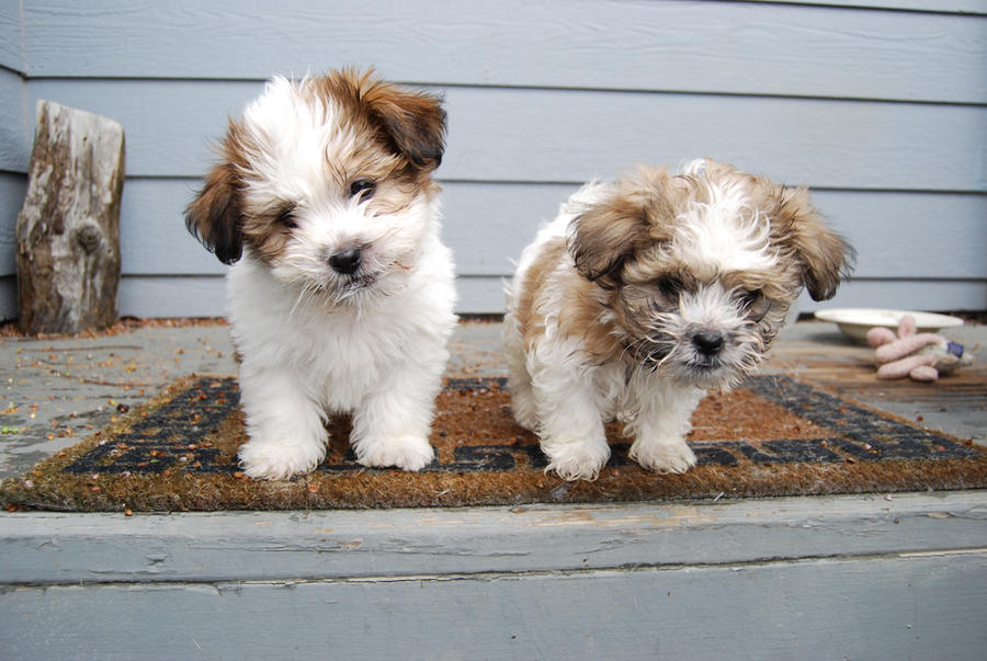 Shih-Tzu Puppies 14 by xxtgxxstock