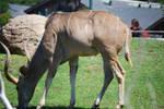 Greater Kudu 4