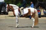 Pinto Pony Standing