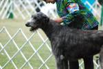 Irish Wolfhound 12