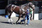 Black Thoroughbred Race Horse