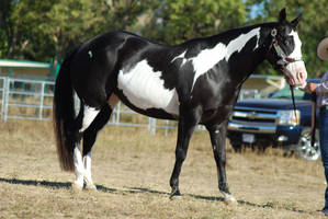 Black American Paint Horse 2 by xxtgxxstock