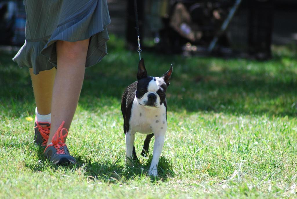 Boston Terrier 2 by xxtgxxstock