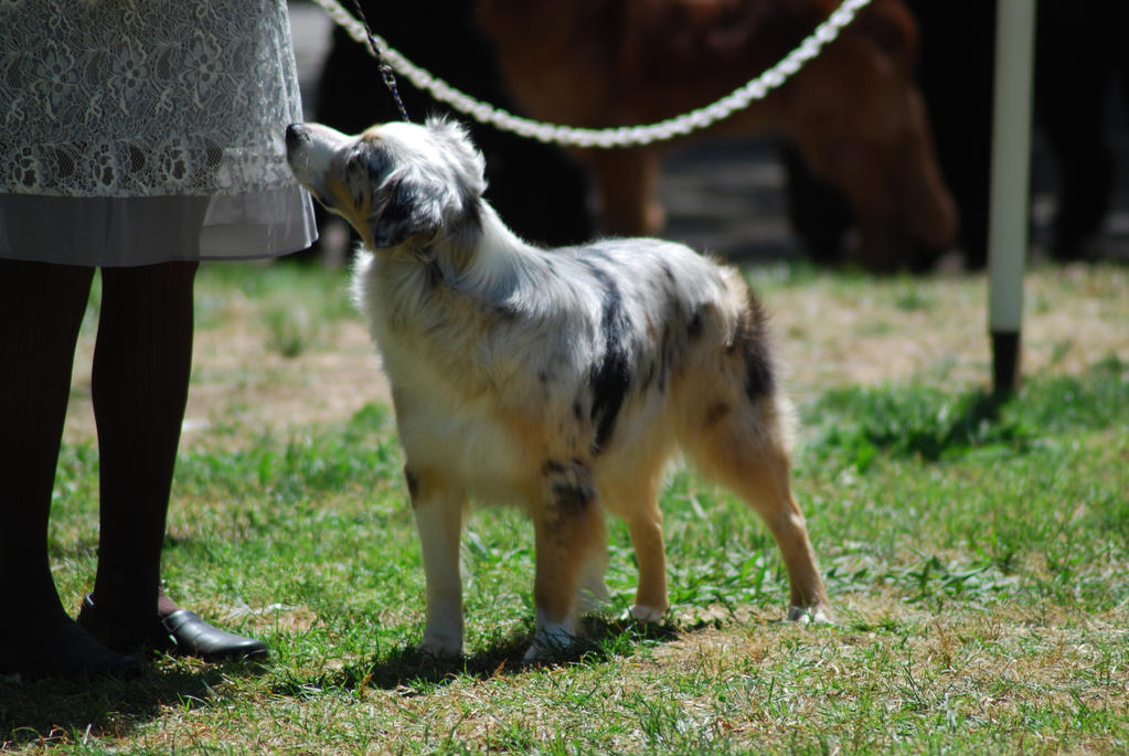 Miniature American Shepherd 2 by xxtgxxstock