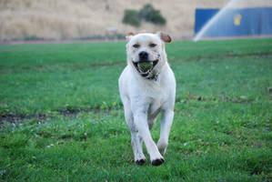 Labrador Retriever 8 by xxtgxxstock