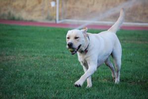 Labrador Retriever 9 by xxtgxxstock