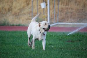 Labrador Retriever 10 by xxtgxxstock
