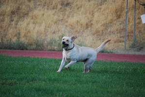 Labrador Retriever 11 by xxtgxxstock