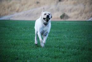 Labrador Retriever 12 by xxtgxxstock