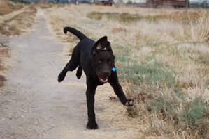 Labrador Retriever 13 by xxtgxxstock