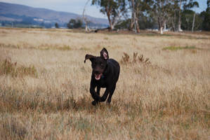 Labrador Retriever 14 by xxtgxxstock