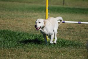Labrador Retriever 16 by xxtgxxstock