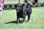 Labrador Retriever 18