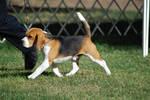 Beagle 20