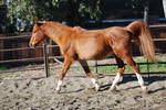 Chestnut Arab Horse 2
