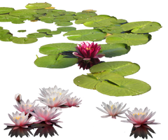 Water-lily PNG by MariaSemelevich