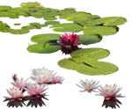 Water-lily PNG