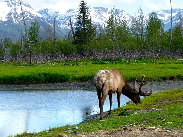 Elk by shofawnda