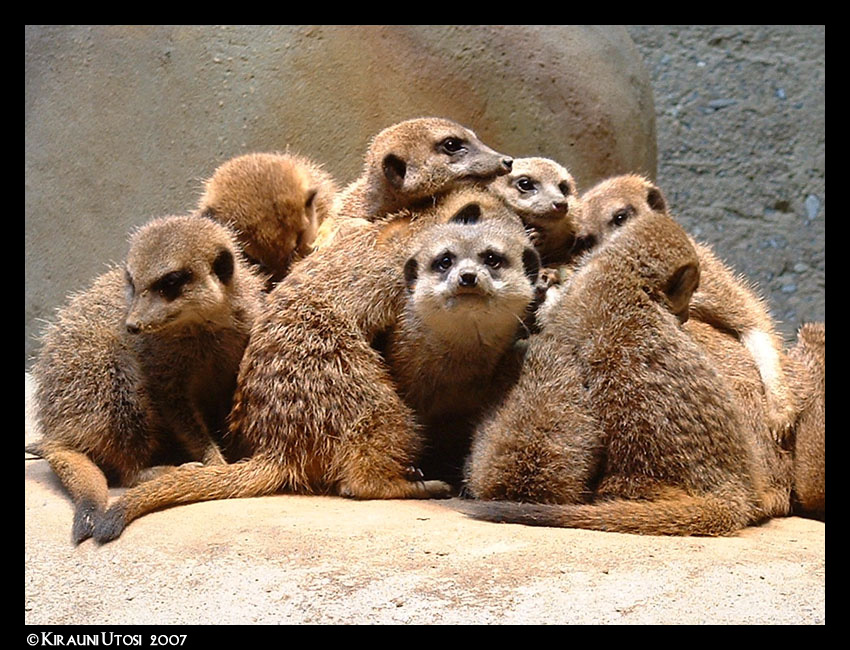 Meerkats by Kirauni