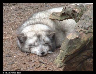 Arctic fox by Kirauni