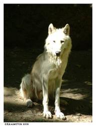 Sitting Wolf by Kirauni