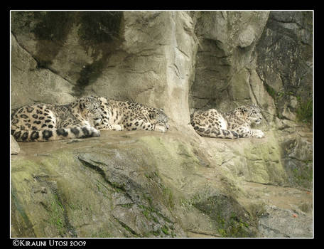 A group of Snowleopards