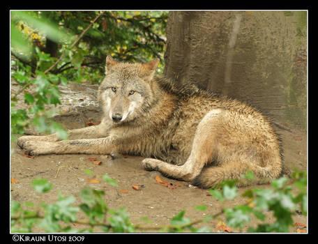 Wet Wolf