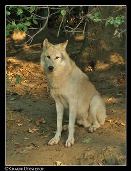 Sitting Wolf - Remake