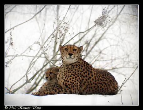 Snow Cheetahs