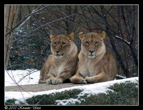Snow Lionesses