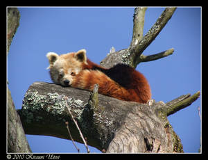 Red Panda with a touch of blue