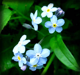-Forget-Me-Not-