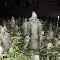 Cannabis Plant Terracotta Warriors
