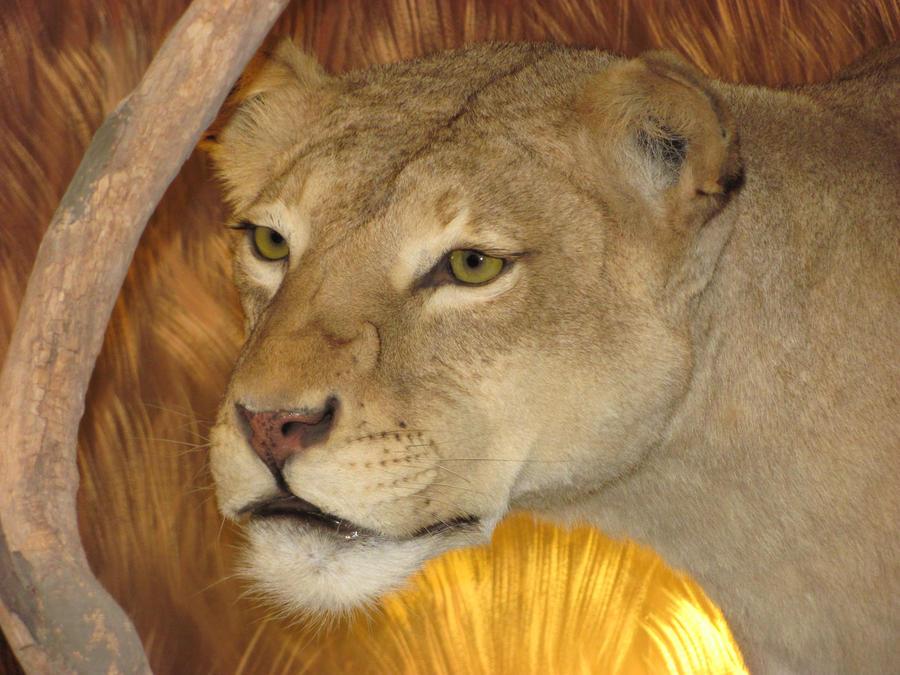 African Lioness, Queen...