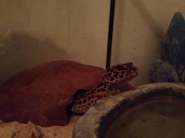 New Gecko
