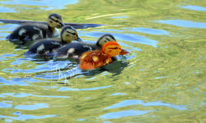 Different Duckling