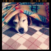 beagle by azngirlofwonder