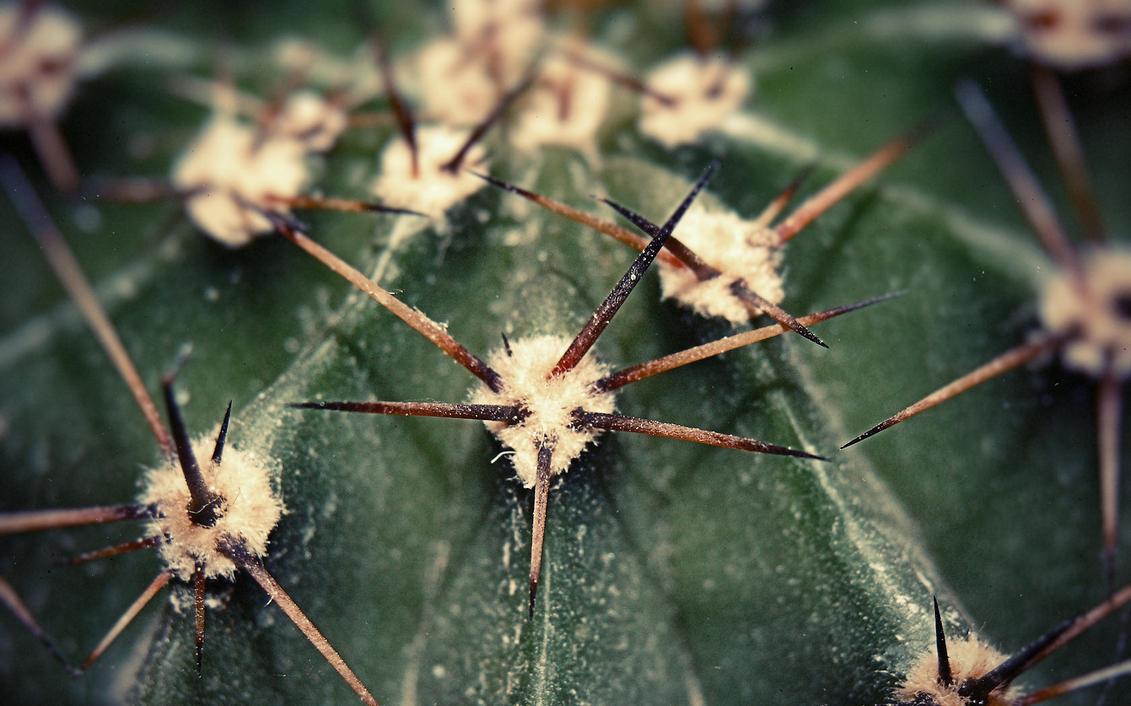 cactus by cheyrek