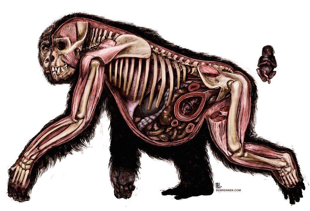 Lowland Gorilla Anatomy by Helstyr on DeviantArt