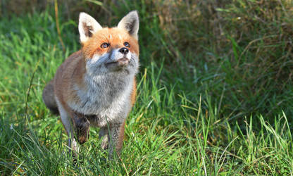 Hunting fox by Duckmad